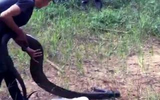 Video: Thả rắn hổ mang chúa 21 kg vào rừng