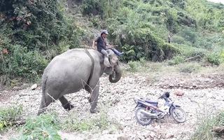Video: Con voi cuối cùng ở Bắc Tây Nguyên đã chết