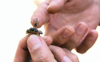 Góc nhìn trưa nay | Thú vị nghề săn ong lấy mật