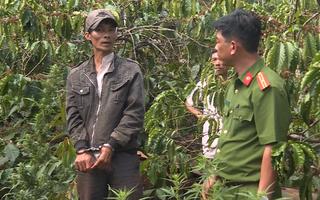 Video: Trồng lén 1000 cây cần sa trong rẫy cà phê