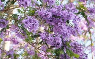 Video: Mùa tháng 3 đến Đà Lạt ngắm hoa phượng tím