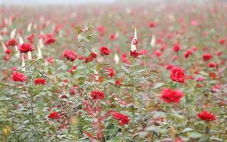 Video: Hoa nở rợp vườn sau khi toàn thôn bị cách ly vì COVID-19