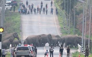 Video: Cảnh sát chặn cao tốc nhường đường cho đàn voi sang đường