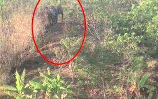 Video: Xuất hiện voi rừng về phá hoa màu của người dân ở Đắk Lắk