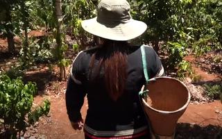 Video: Săn sâu muồng của người Ê Đê