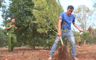Phát hiện 2 gia đình trồng gần 600 cây cần sa ở Đắk Lắk