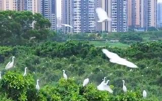 Video: Hàng chục ngàn chim Diệc Bạch ở thành phố Phật Sơn