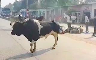 Video: Bò 'điên' tấn công người đi xe máy trên đường phố