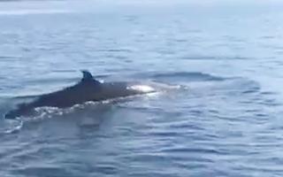 Video: Cá voi dài hơn 4m xuất hiện ở Cù Lao Chàm, Hội An