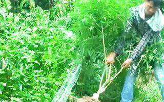 Video: Bị bắt quả tang trồng cần sa, chủ nhà khai 'chỉ để nuôi gà'