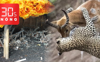 Bản tin 30s Nóng: Giết người rồi phóng hỏa; Thông tin vụ án Tuấn 'khỉ'; Linh dương húc bay báo đốm