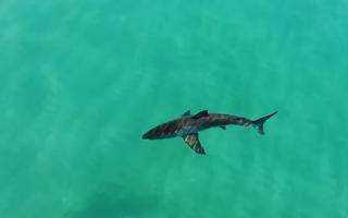 Video: Cá mập trắng xuất hiện, người chơi lướt ván tháo chạy
