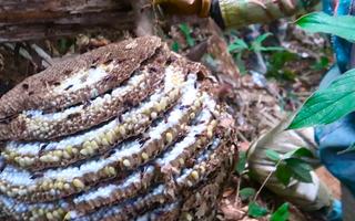 Video: Bắt ong vò vẽ ở Bắc Kạn