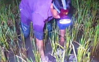 Video: Nghề săn ếch đêm