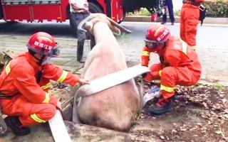 Video: Lính cứu hỏa giải cứu con trâu bị mắc kẹt trong miệng cống