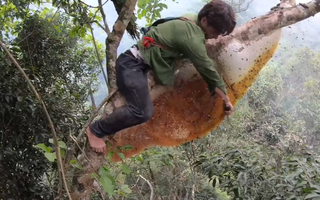 Leo ngọn cổ thụ bắt tổ ong rừng dài hơn 2 mét