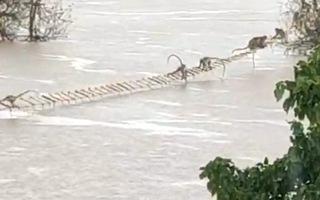 Video: Bắc thang dây giải cứu bầy khỉ gần 100 con mắc kẹt giữa sông