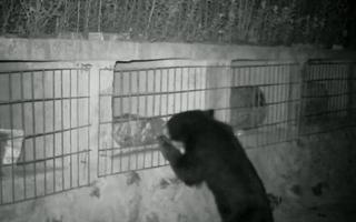 Video: Gấu đen đột nhập vào khu bảo tồn ăn trộm 7,5kg mật ong trong đêm
