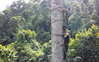Video: Thót tim cảnh leo thang dây săn ong trên ngọn cổ thụ cao gần 40 mét
