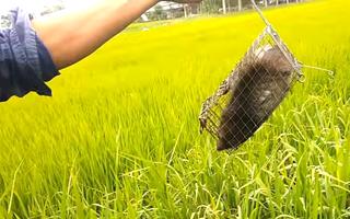 Video: Đặt bẫy bắt chuột cống nhum to như con mèo, nặng cả mấy kg
