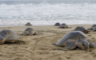 Video: Khám phá nét độc đáo của loài rùa biển Olive Ridley