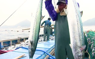 Video: Ngư dân trúng đậm đàn cá 'khủng' ở đảo Yeosu