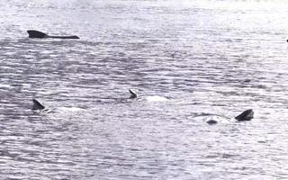 Video: 10 con cá voi chết dạt vào bờ biển