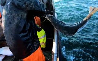 Video: Câu đàn cá Bơn 'khủng' ngoài khơi vùng biển Alaska