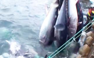 Video: Khoảnh khắc 3 con tàu vây bắt đàn cá ngừ 'khủng' 40 tấn
