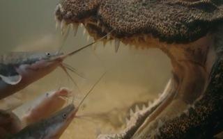 Video: Cách cá sấu lùn nín thở, ngụy trang để săn mồi