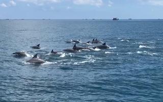Video: Đàn cá heo cả trăm con xuất hiện ở đảo Phú Quý