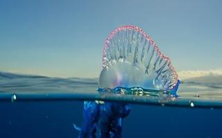 Video: Khám phá loài sứa lửa với những chiếc xúc tu cực độc