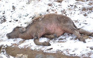 Video: Tuyết rơi phủ trắng vùng núi ở Lào Cai, gia súc chết cóng
