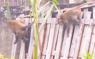 Video: Đàn khỉ hơn chục con 'đại náo' khu dân cư ở quận 12, TP.HCM