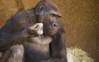 Video: Lần đầu tiên ghi nhận khỉ đột mắc COVID-19