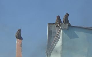 Video: Sẽ bắn thuốc mê để di dời đàn khỉ trong khu dân cư ở TP.HCM