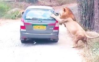 Video: 2 con sư tử tấn công xe ôtô chở khách du lịch