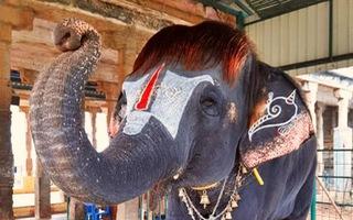 Video: Con voi nổi tiếng nhờ 'mái tóc' dài và khả năng chơi kèn harmonica