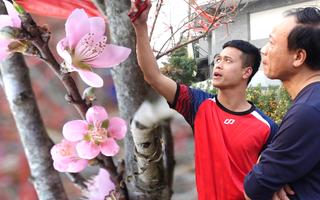 Video: Đào Sơn La có tem xuất xứ về Hà Nội đón Tết