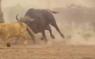 Video: Đi săn mồi, sư tử bị trâu rừng phản đòn bỏ chạy thục mạng