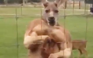 Video: Hài hước kangaroo vung 'nắm đấm' dọa người đàn ông