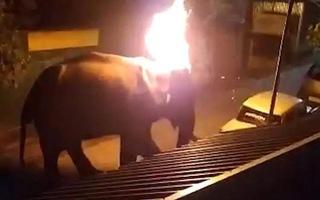 Video: Kiểm lâm viên khóc nghẹn khi con voi chết vì bị ném lốp xe đang cháy vào đầu