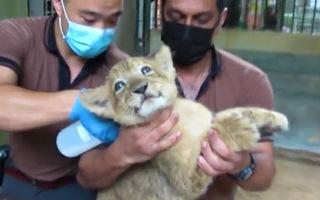 Video: Sư tử thụ tinh nhân tạo đầu tiên chào đời ở Singapore