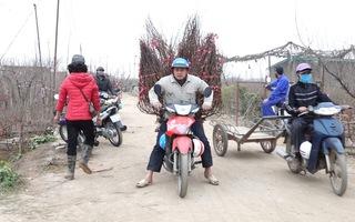 Video: Làng đào Nhật Tân lo 'mất' Tết vì COVID-19