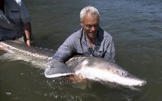 Video: Câu cá tầm trắng 'khủng long' dài đến 6m ở Mỹ