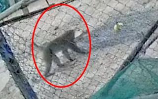 Video: Khỉ mặt đỏ vào khu dân cư cắn người ở Quảng Trị