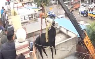 Video: Bò bị mắc kẹt vì tự leo cầu thang lên sân thượng