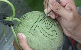 Video: Vào vườn xem công nhân khắc chữ thư pháp cho dưa lưới mùa tết