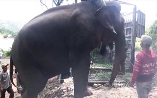 Video: Đưa voi Khăm Phanh về Trung tâm bảo tồn voi Đắk Lắk, hỗ trợ công chăm sóc cho chủ 1 tỉ đồng