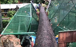 Video: Cây cổ thụ hơn 50m bật gốc, đè sập chuồng thú Thảo Cầm Viên Sài Gòn